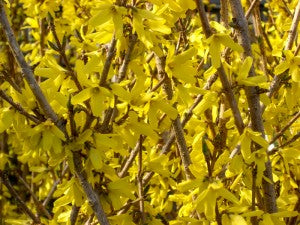 NorthernGoldForsythia
