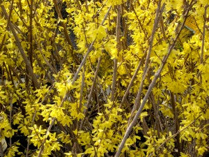 NorthernGoldForsythia2