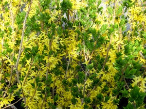 NorthernGoldForsythia3