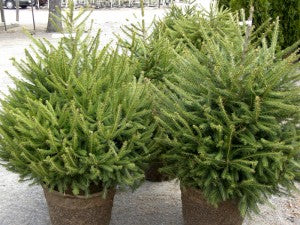 Norway_Spruce