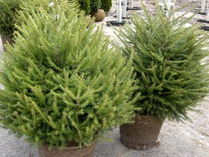 Norway_Spruce2