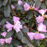 P.J.M. Regal Rhododendron