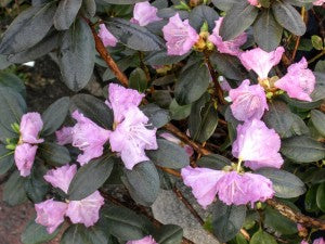 PJM_Regal_Rhododendron