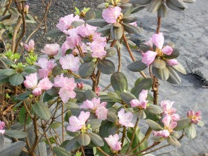 PJM_Regal_Rhododendron2