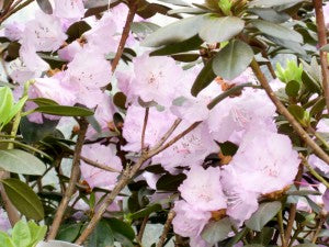 PJM_Regal_Rhododendron3