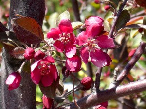 ProfusionCrabApple