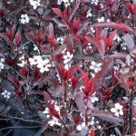 Purpleleaf Sandcherry