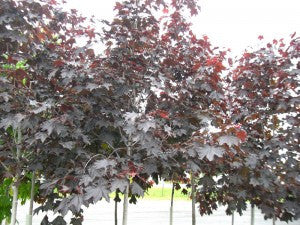 RoyalRedMaple