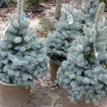 Royal Knight Blue Spruce