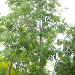 Russian Mountain Ash