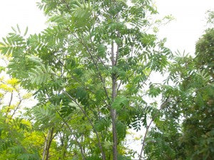 RussianMountainAsh