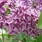 Sensation French Lilac Standard