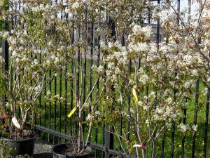 ShadblowServiceberry