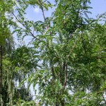 Shademaster Honeylocust