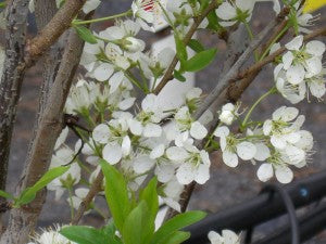 Toka Plum Tree2