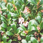 Vancouver Jade Bearberry