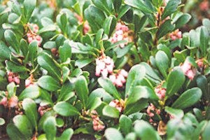 Vancouver_Jade_Bearberry