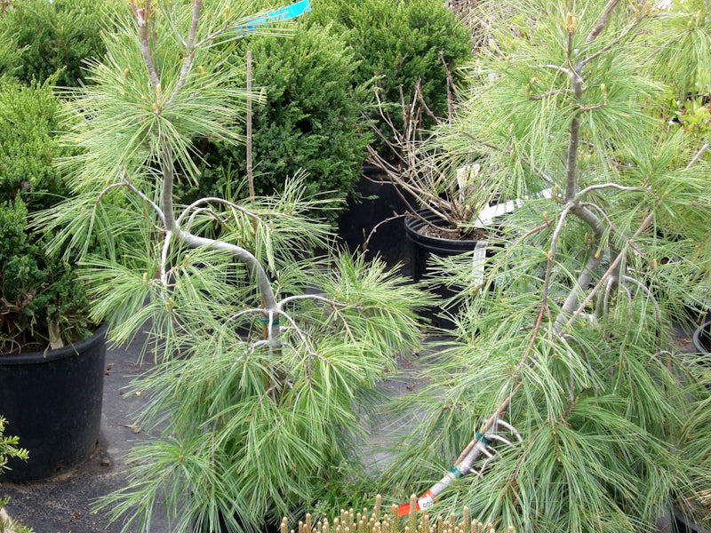 Weeping White Pine Knippel Garden Centre