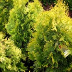 Yellow Ribbon Cedar
