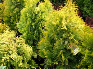 Yellow_Ribbon_Cedar