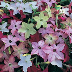 Nicotiana Mixed - IN STORE PICK-UP ONLY