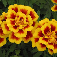 Marigold Yellow Fire - IN STORE PICK-UP ONLY