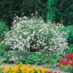 Lobelia White Trailing 9 pack - IN STORE PICK-UP ONLY
