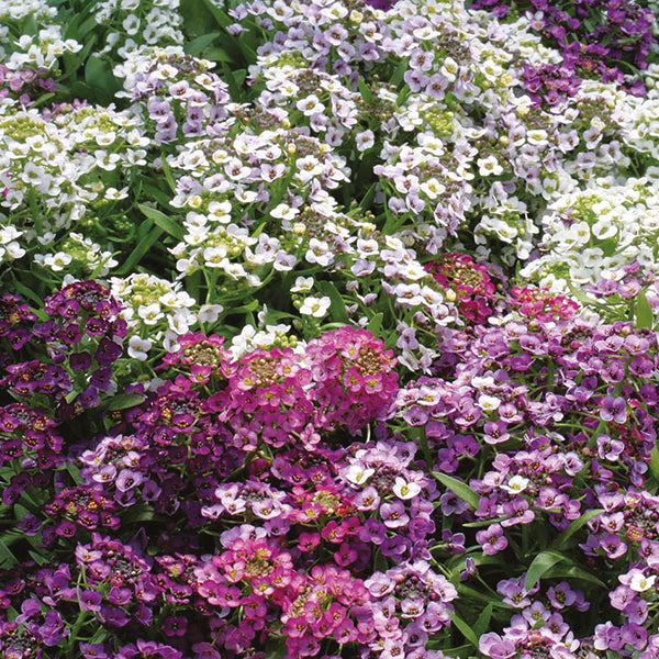 Alyssum Mixed - IN STORE PICK-UP ONLY