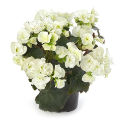 Begonia Reiger White - IN STORE PICK-UP ONLY