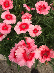 Dianthus Strawberry Parfait - IN STORE PICK-UP ONLY