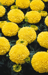 Marigold Tagetes Yellow  9 pack- IN STORE PICK-UP ONLY