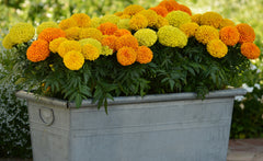 Marigold Double Mix - IN STORE PICK-UP ONLY