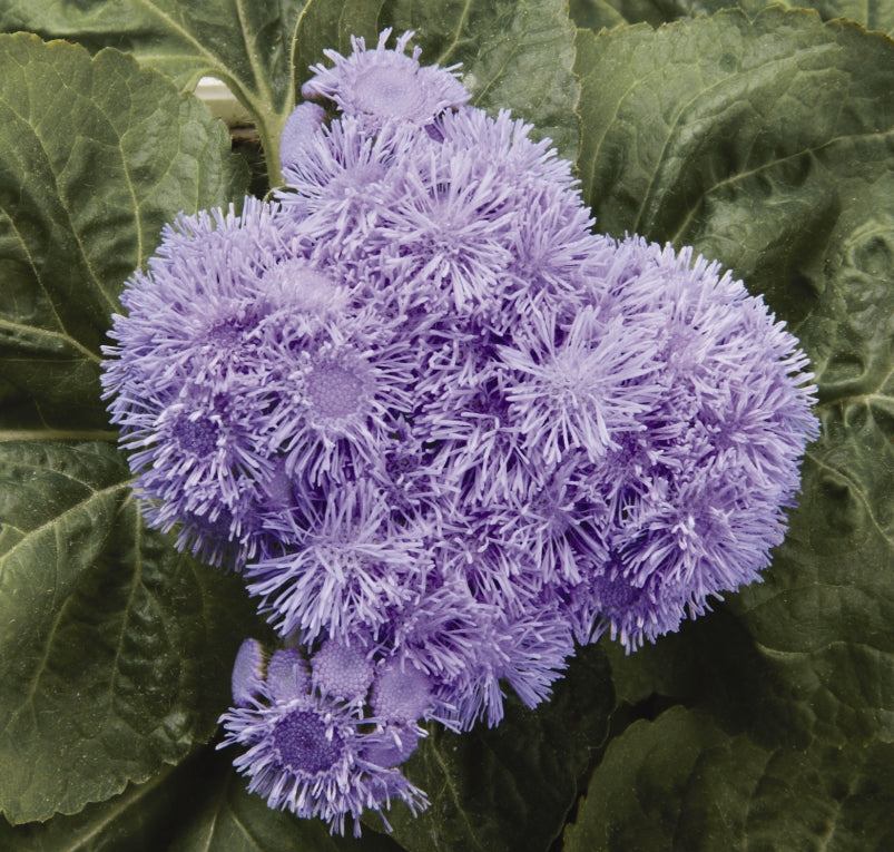 Ageratum Blue - IN STORE PICK-UP ONLY