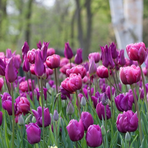 All Season Purple Tulip - 10 Pack