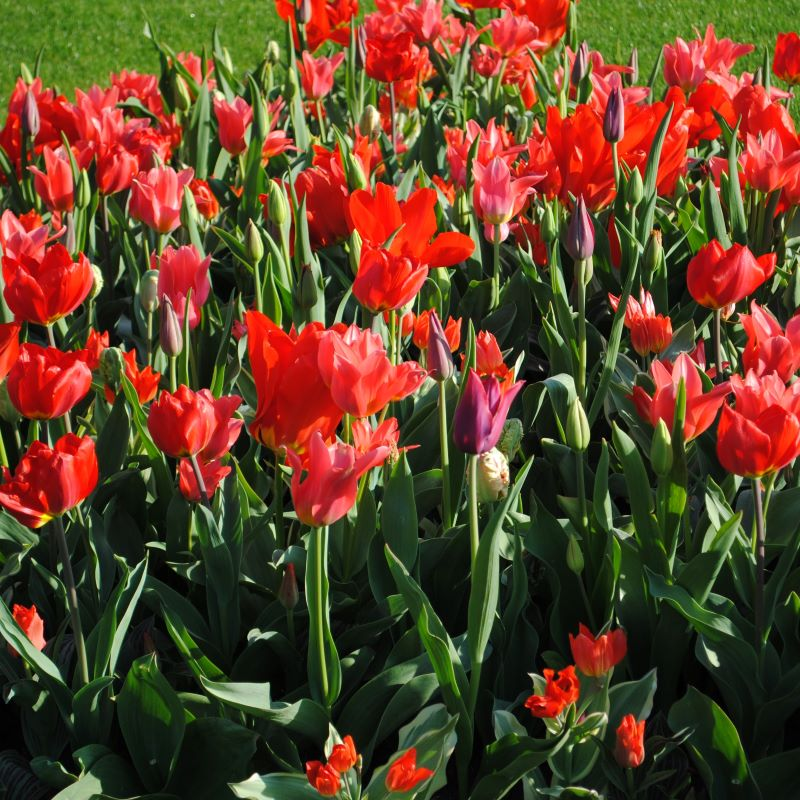 All Season Red Mix Tulip - 10 pack