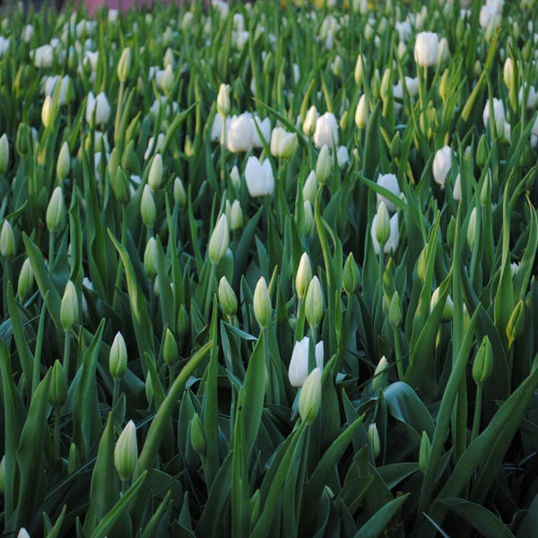 All Season White Tulip - 10 pack