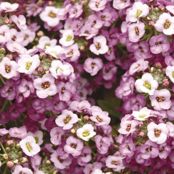 Alyssum Lavender - IN STORE PICK-UP ONLY