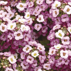 Lavender Alyssum - IN STORE PICK-UP ONLY
