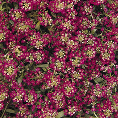 Pink Alyssum - IN STORE PICK-UP ONLY