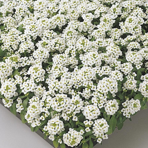Alyssum White  - IN STORE PICK-UP ONLY