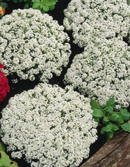 White Alyssum - IN STORE PICK-UP ONLY