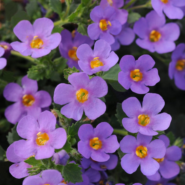 Bacopa Blue - IN STORE PICK-UP ONLY