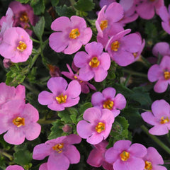 Bacopa Pink - IN STORE PICK-UP ONLY