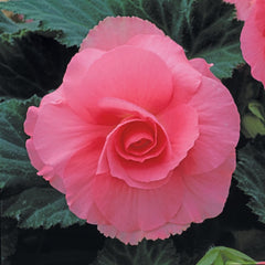 Begonia Tuberosa Pink - IN STORE PICK-UP ONLY