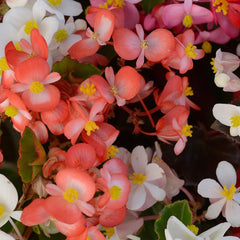 Mixed Begonia - IN STORE PICK-UP ONLY