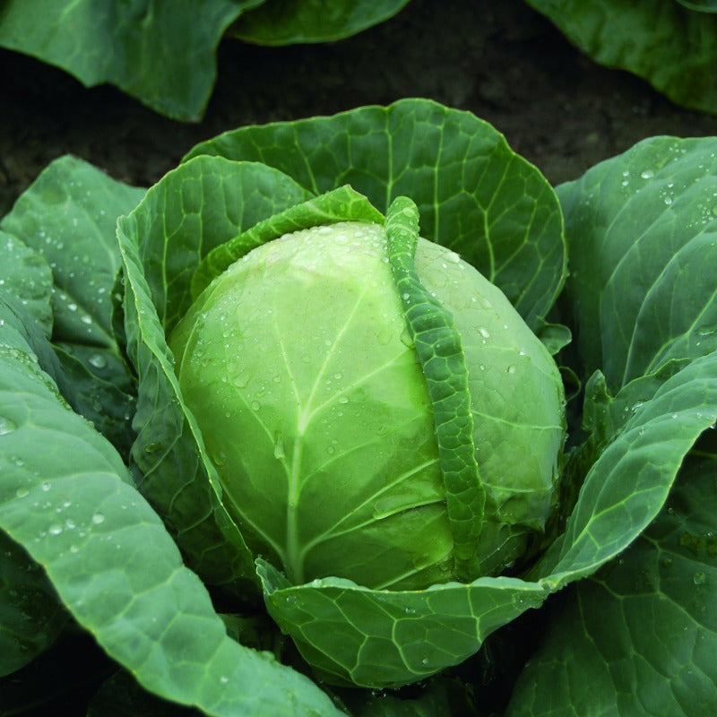 Cabbage - Summer Green