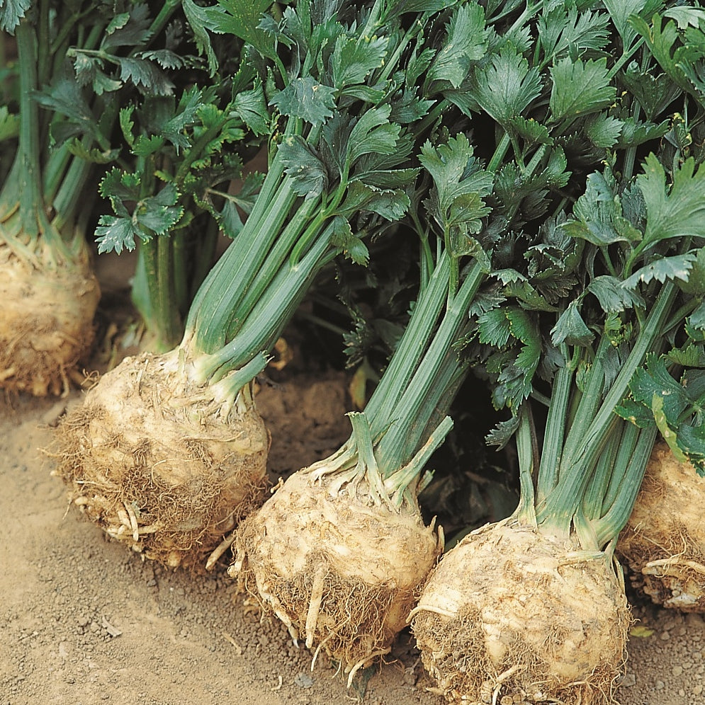 Celeriac 9 pack - IN STORE PICK-UP ONLY