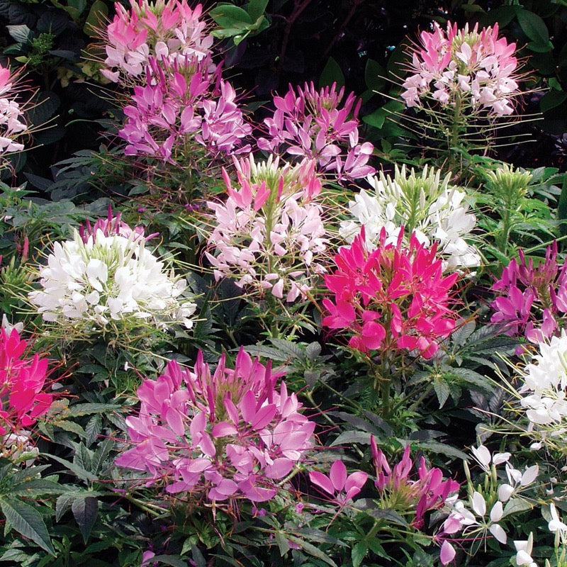 Cleome Mixed - IN STORE PICK-UP ONLY