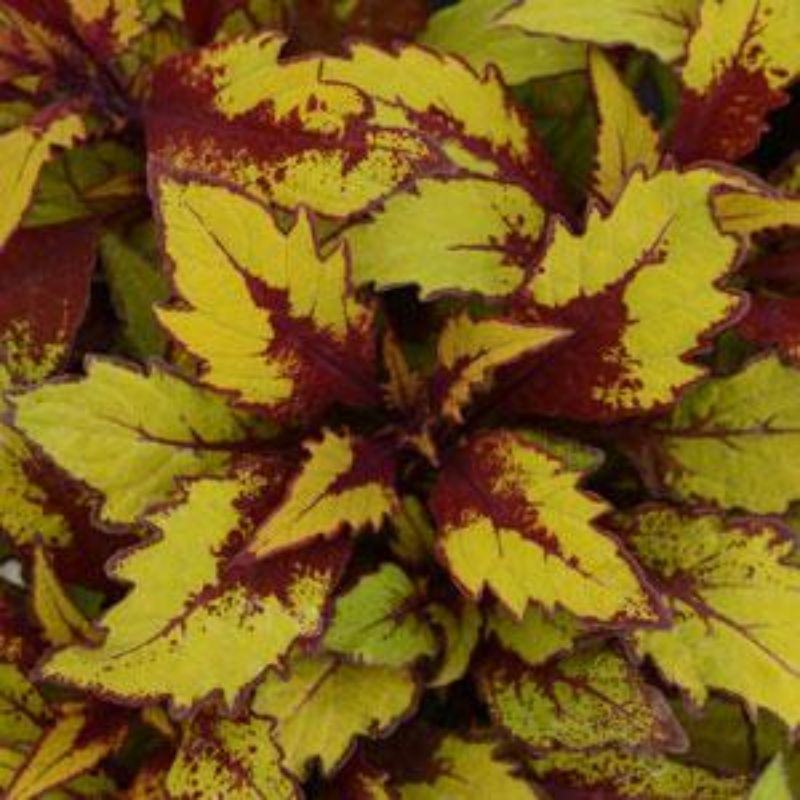 Coleus - Flamethrower Spiced Curry