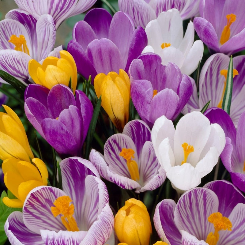 Large Flowering Mix Crocus - 20pack / 50pack